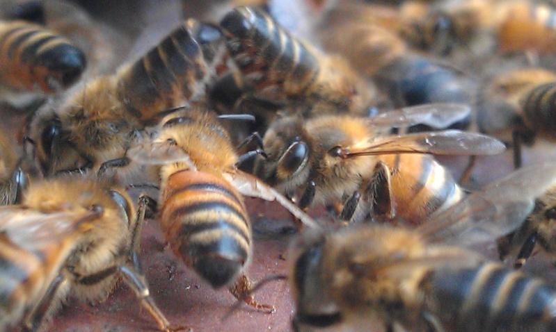 Capture d un essaim par ruche piége. photos et vidéo. Imag2820