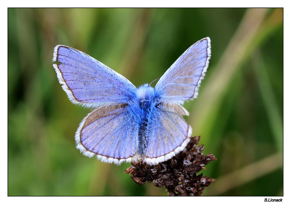 Petit bleu  Bleu110