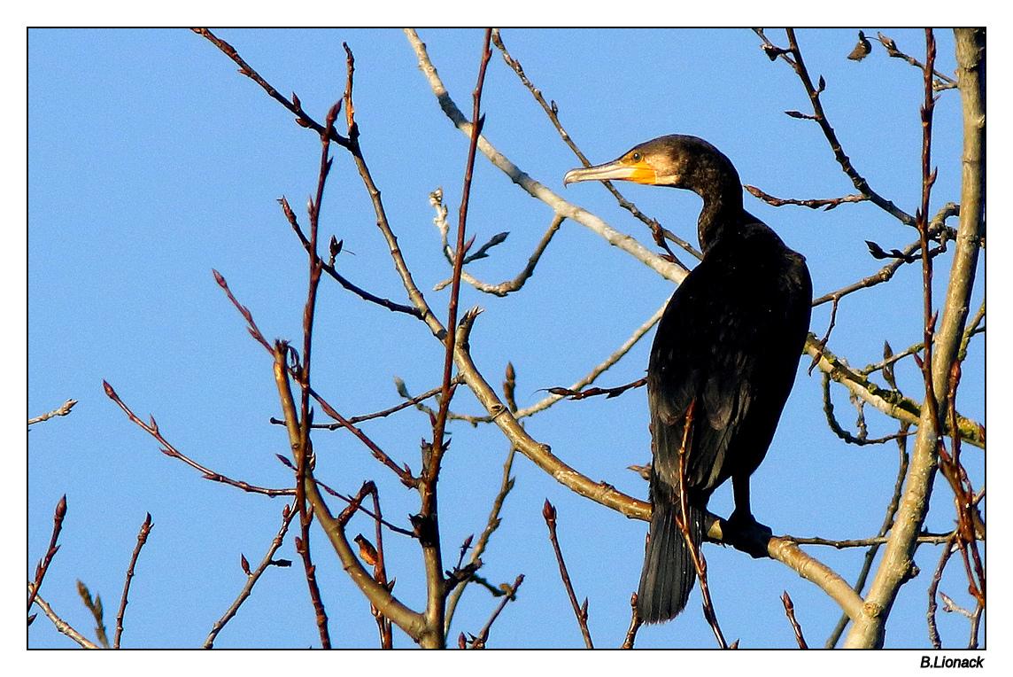 Quelques cormorans Cormo015