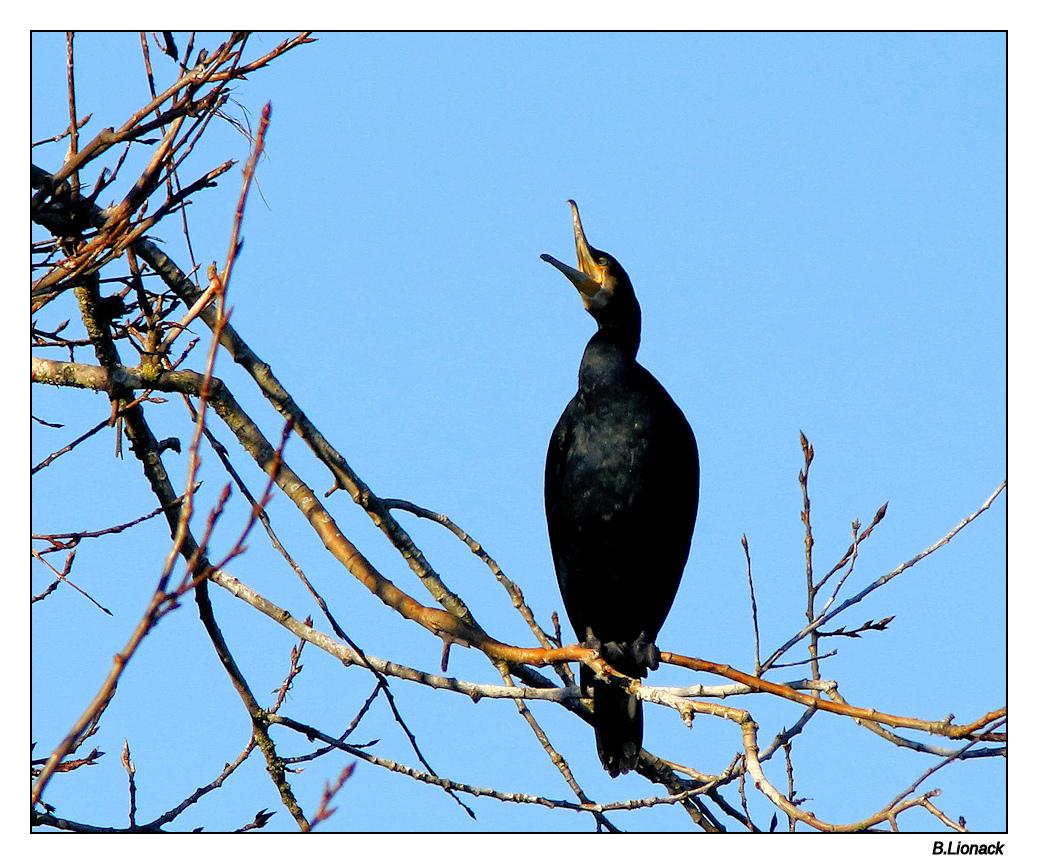 Quelques cormorans Cormo016