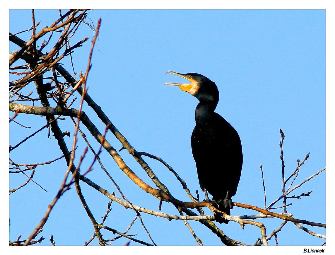 Quelques cormorans Cormo017