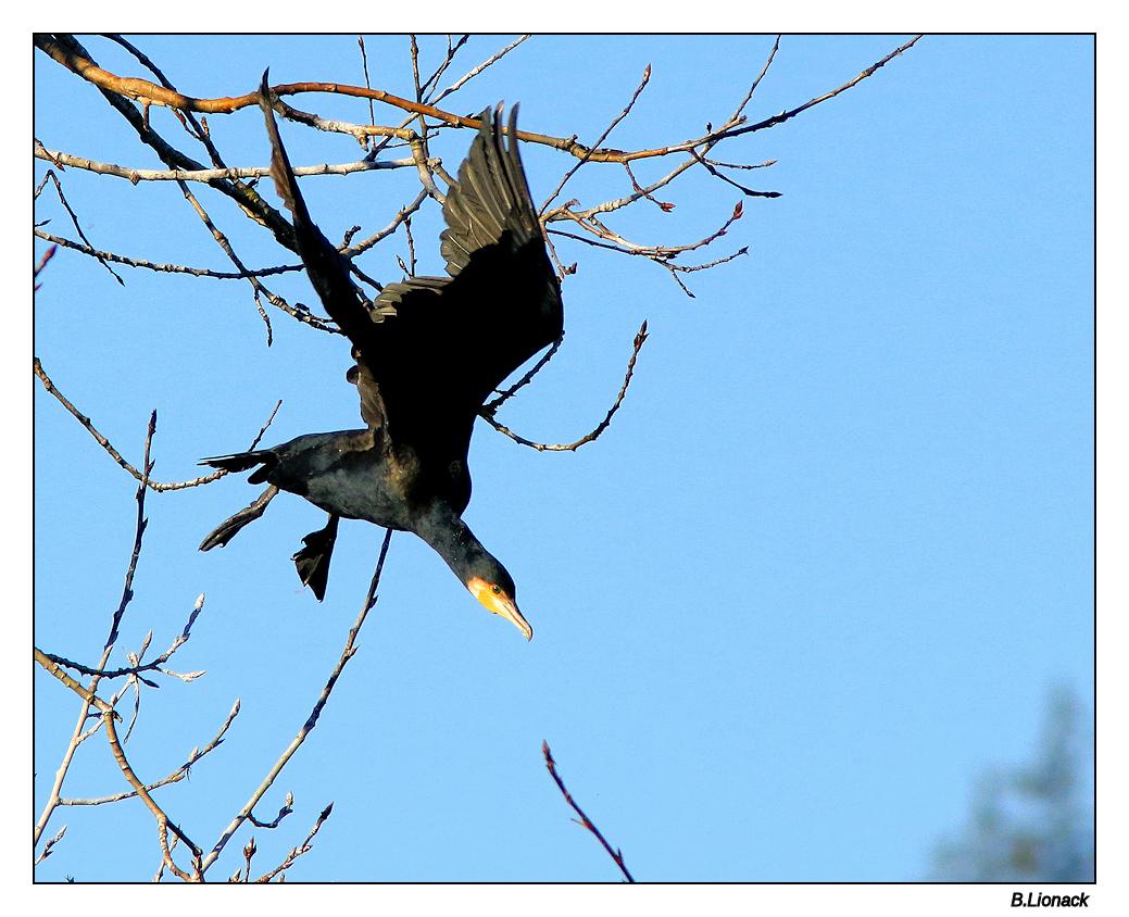 Quelques cormorans Cormo018