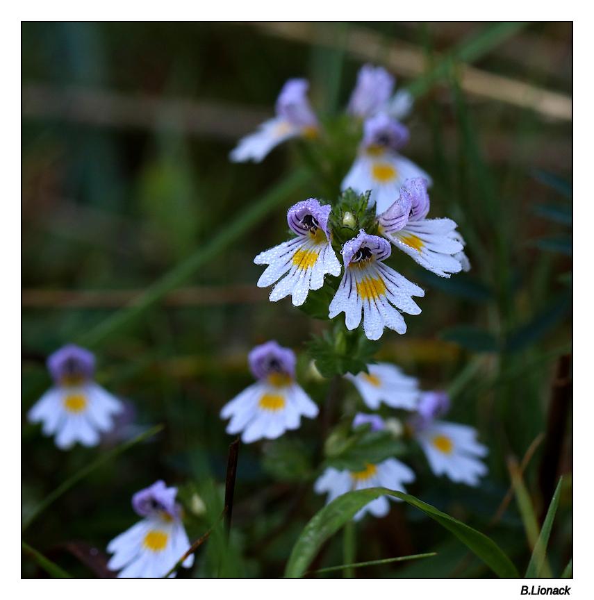Quelques fleurs de par chez moi... Euphra10