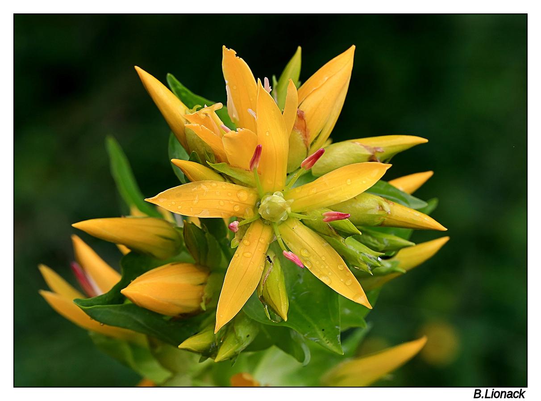 Fleur de grande gentiane Gentia11