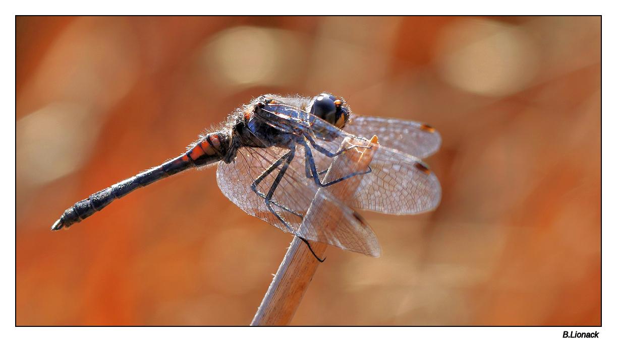 Des libellules en octobre...  Libell10