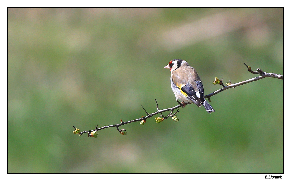 I'm a poor lonesome goldfinch Poor10