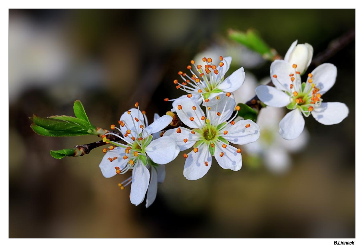 Fleurs de prunellier Prunel10