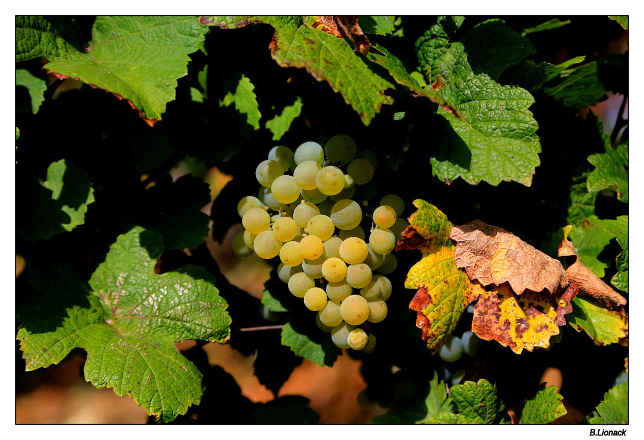 Balade au pays du vin jaune Raisin10