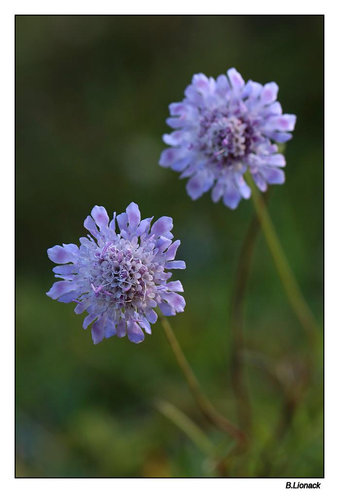 Quelques fleurs de par chez moi... Scabie10