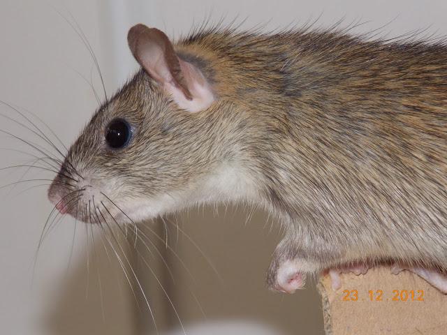 Imagine, rat sauvage au coeur domestique 18510