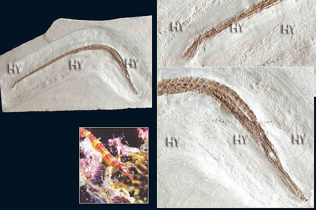 Microphis leiaspis Focile10