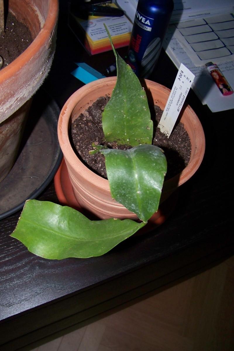 Epiphyllum oxypetalum 001_211