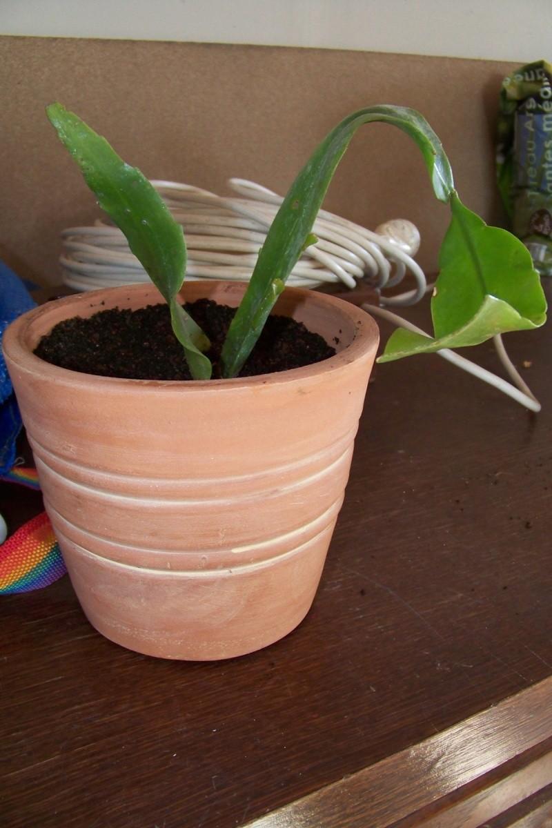 Epiphyllum oxypetalum 00210
