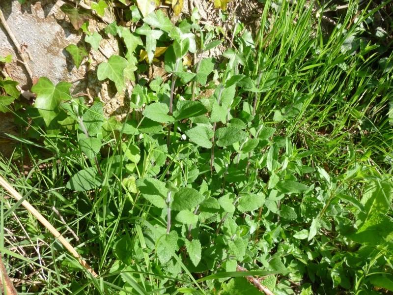Plantes de la Manche  P1040610