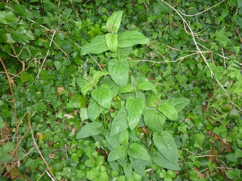 Plantes de la Manche  P1040612