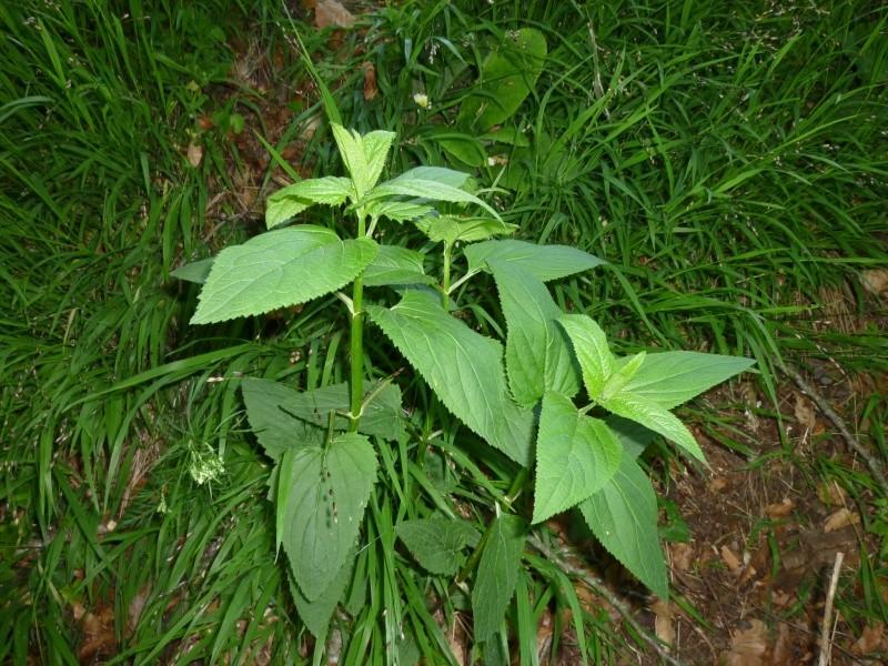 Plantes de la Manche  P1040613