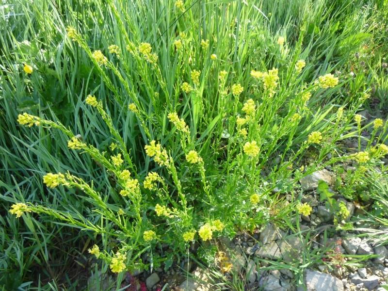 Plantes de la Manche  P1040616