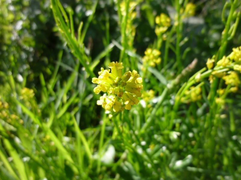 Plantes de la Manche  P1040618