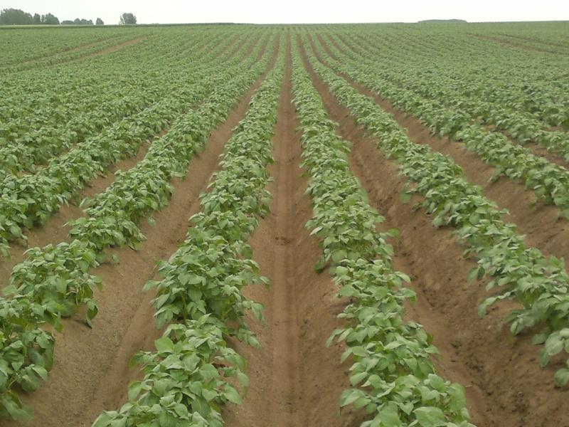 Evolution des cultures de pommes de terre 2013 - Page 3 06062011