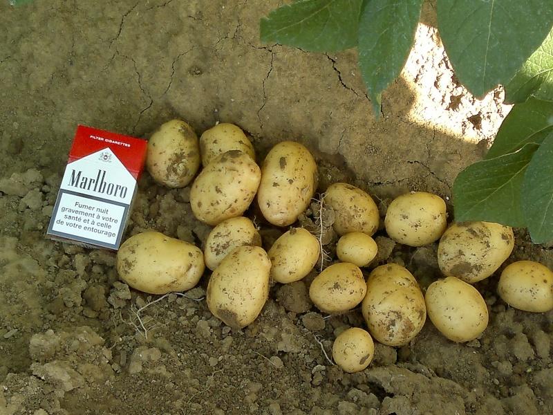 Evolution des cultures de pommes de terre 2013 - Page 3 23062010