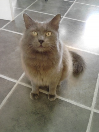 is my cat a nebelung???? please help. P1602120