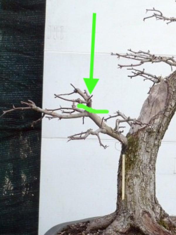Un biancospino che diventa bonsai...... - Pagina 6 P1070610