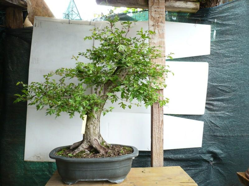 Un biancospino che diventa bonsai...... - Pagina 7 P1070716