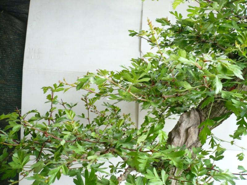 Un biancospino che diventa bonsai...... - Pagina 7 P1070717