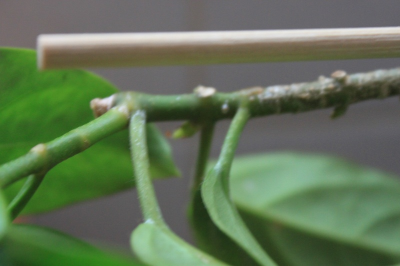 Hoya lasiantha Pflanze zu verkaufen Img_3424