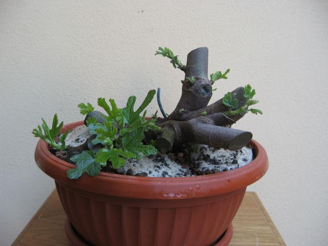 Piccolo Ficus Carica - Pagina 3 Img_0013