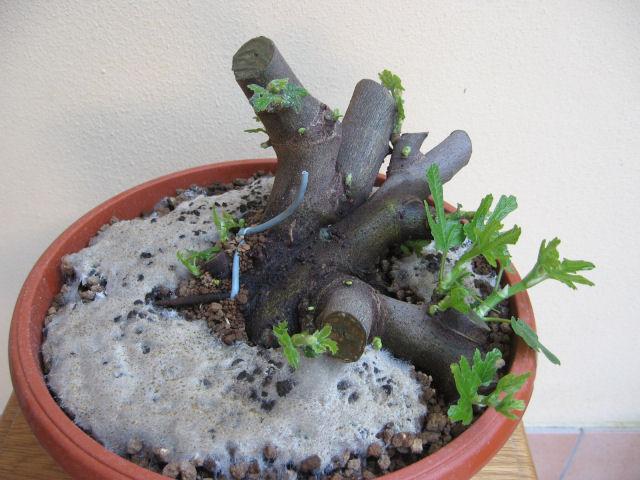 Piccolo Ficus Carica - Pagina 3 Img_0017