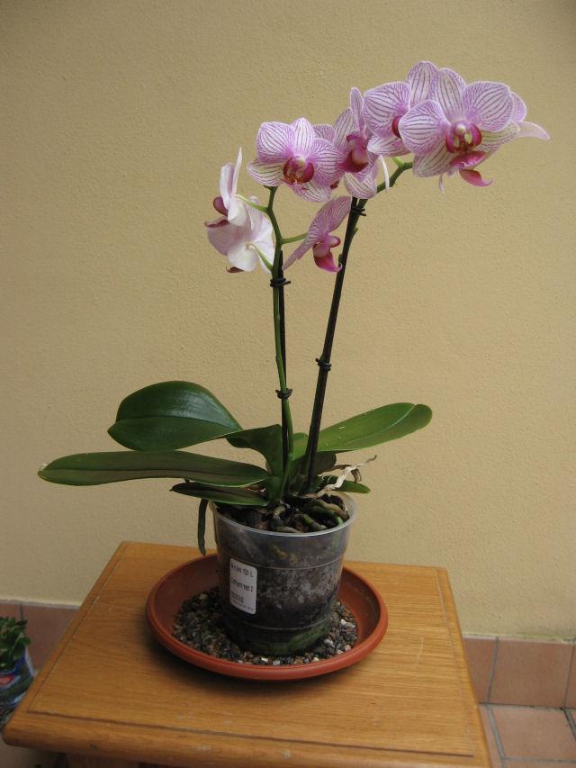 Orchidea...consigli Img_0310