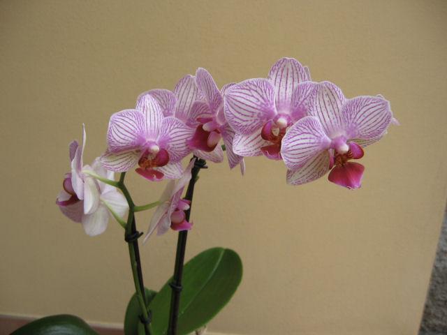 Orchidea...consigli Img_0311