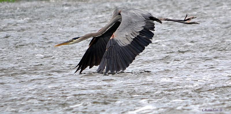 heron qui glisse sur l eau 1010