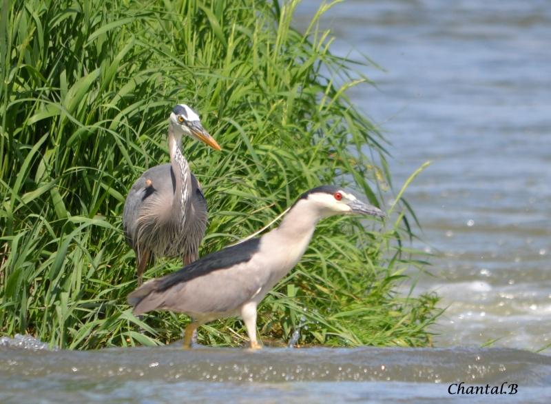un heron et un bihoreau 1110