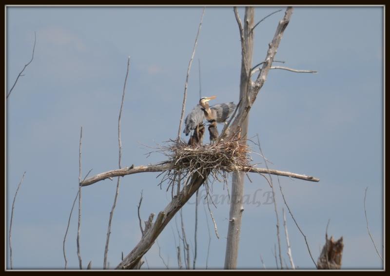 famille de heron 318