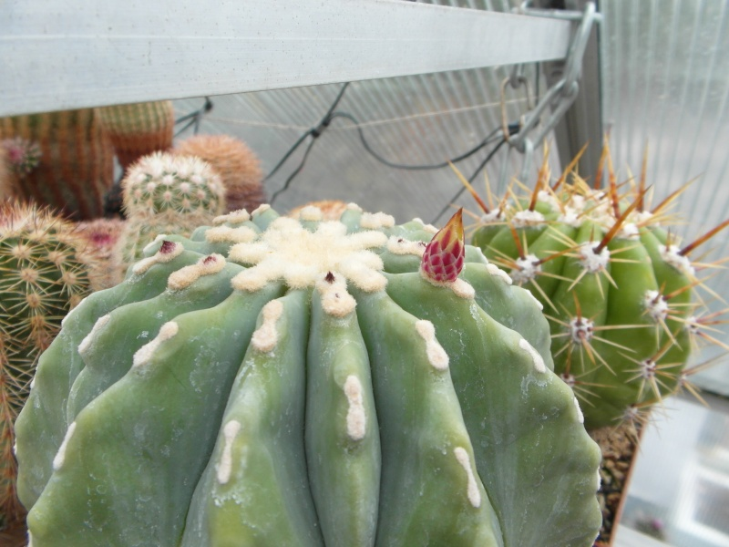 Cacti and Sukkulent in Köln, every day new flowers in the greenhouse Part 51 Bild1003