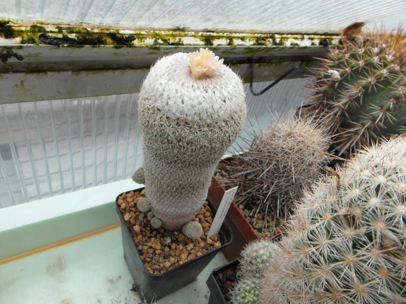 Cacti and Sukkulent in Köln, every day new flowers in the greenhouse Part 51 Bild1010