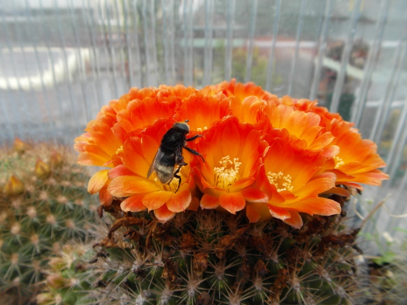Cacti and Sukkulent in Köln, every day new flowers in the greenhouse Part 51 Bild1011
