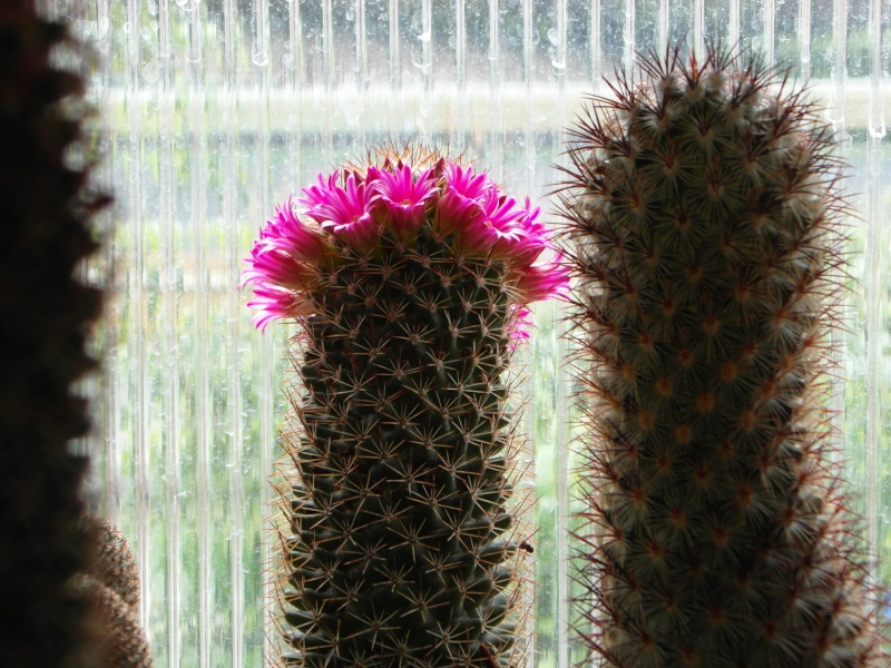 Cacti and Sukkulent in Köln, every day new flowers in the greenhouse Part 51 Bild1021