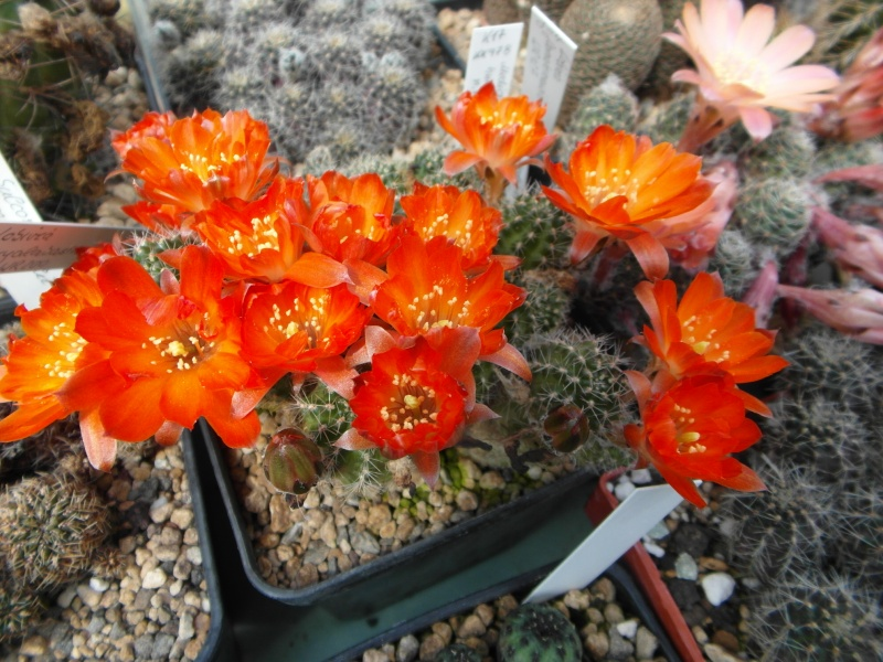 Cacti and Sukkulent in Köln, every day new flowers in the greenhouse Part 51 Bild1026