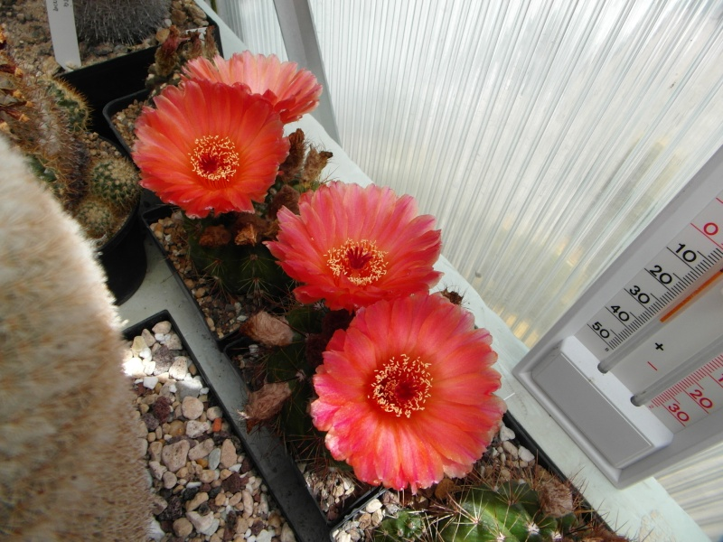 Cacti and Sukkulent in Köln, every day new flowers in the greenhouse Part 51 Bild1032