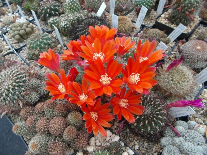 Cacti and Sukkulent in Köln, every day new flowers in the greenhouse Part 51 Bild1034