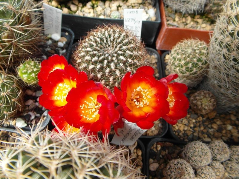 Cacti and Sukkulent in Köln, every day new flowers in the greenhouse Part 51 Bild1044