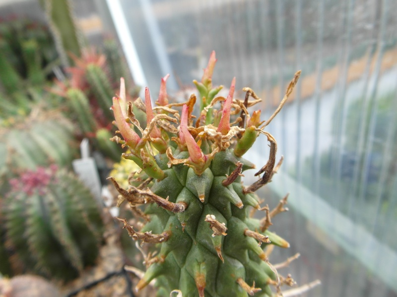 Cacti and Sukkulent in Köln, every day new flowers in the greenhouse Part 51 Bild1054