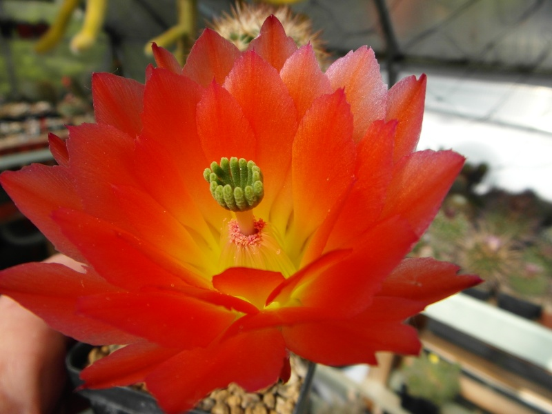 Cacti and Sukkulent in Köln, every day new flowers in the greenhouse Part 51 Bild1071