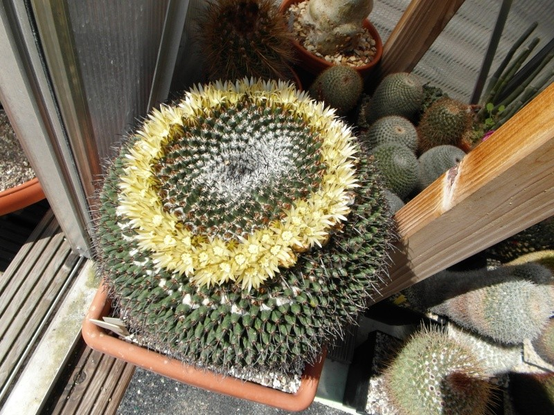 Cacti and Sukkulent in Köln, every day new flowers in the greenhouse Part 51 Bild1074