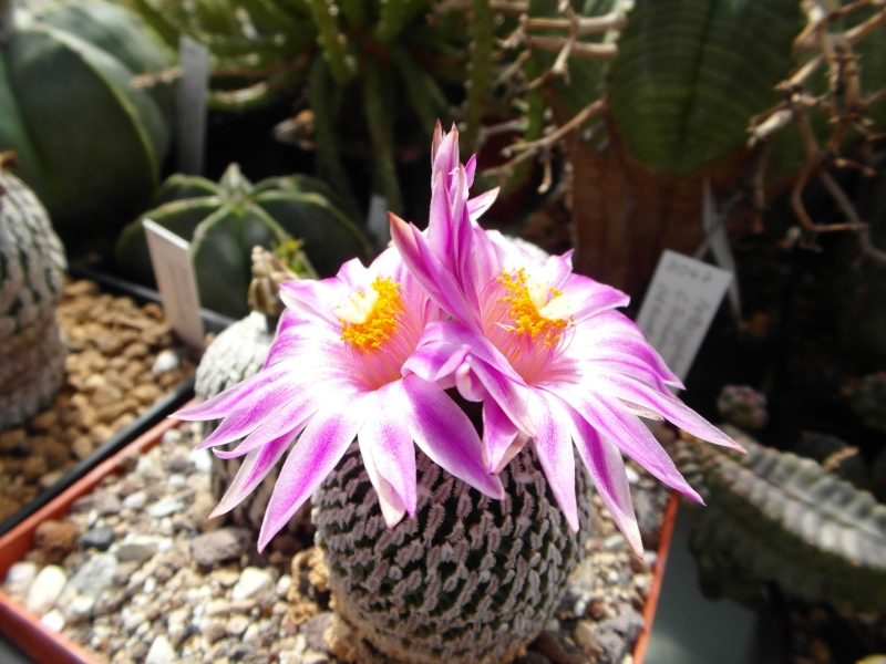 Cacti and Sukkulent in Köln, every day new flowers in the greenhouse Part 51 Bild1076