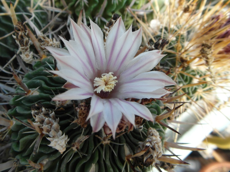 Cacti and Sukkulent in Köln, every day new flowers in the greenhouse Part 51 Bild1079