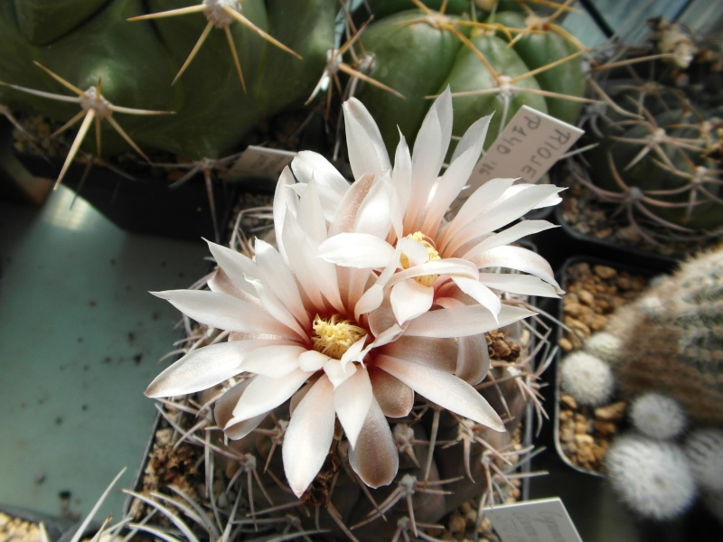 Cacti and Sukkulent in Köln, every day new flowers in the greenhouse Part 51 Bild1084